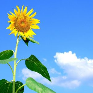A picture of a sunflower against a blue sky